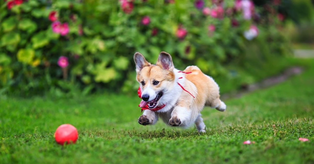 Why Dogs Like to Play with Balls